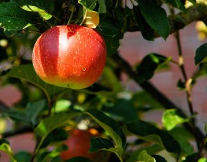 apple-apple-tree-branch-52517