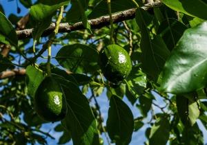 avocado-369628_1920