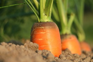 carrot-1565597_1920